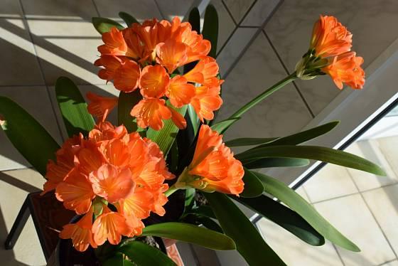 Klívie jsou velmi dekorativní rostliny, které můžeme přes léto mít na zahradě.