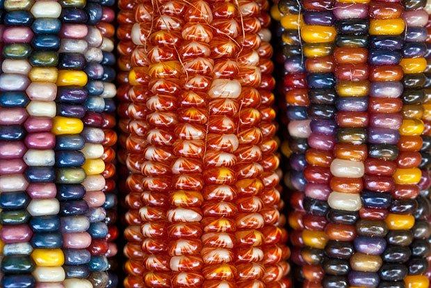 Indiánská kukuřice hýří barvami