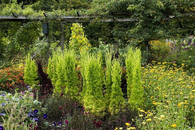 Vzrostlé a kvetoucí saláty mohou být pohlednou součástí záhonu