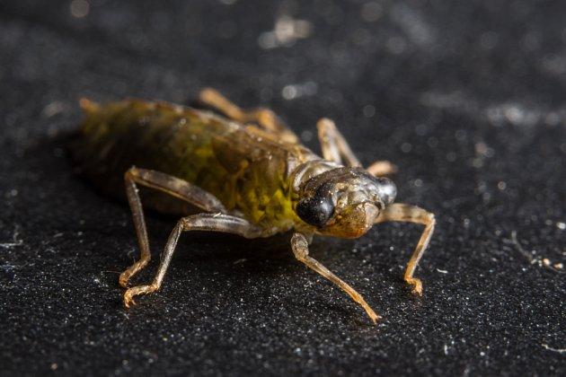 Dravé larvy vážek žijí několik let pod hladinou