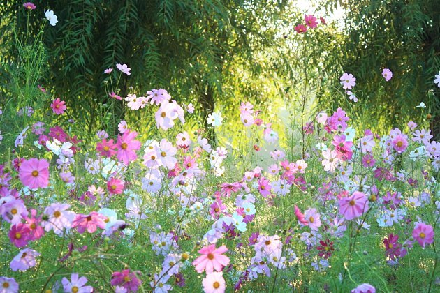 Krásenka zpeřená (Cosmos bipinnatus)