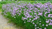 Široký pás kvetoucí pažitky lahodí oku i včelám.