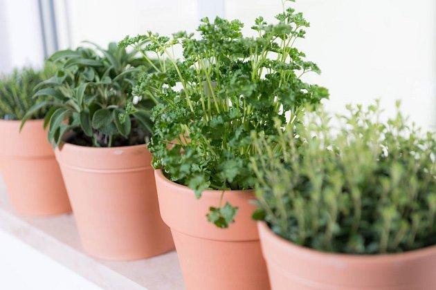 Bylinky, jako je šalvěj, petrželka a tymián lze snadno pěstovat v květináčích