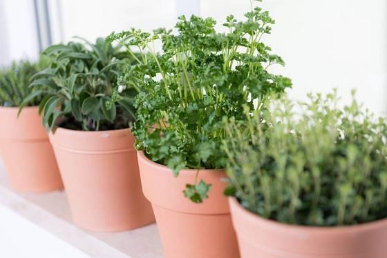 Místo květináčků lze použít pytlíčky ze silonek naplněné zeminou