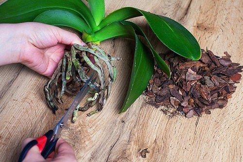Pokud začnou květině černat nebo hnědnout kořeny, odstřihněte je.