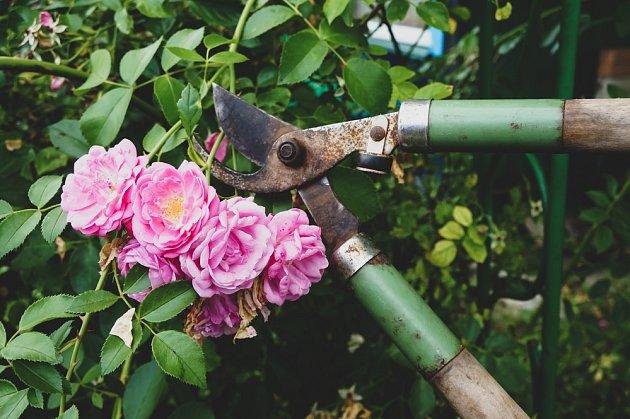 Po odkvětu lze růže sestřihnout, ale nepřežeňte to!