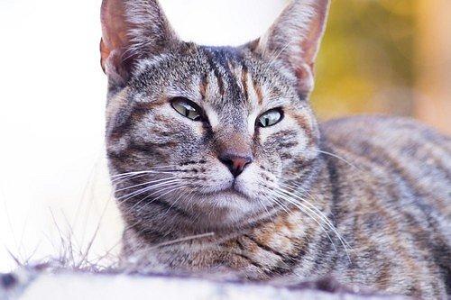 Vzpřímené uši kočky vyjadřují jisté zaujetí, ať už je to cokoliv.