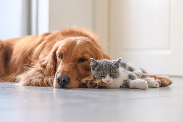 Ani zlatí retrívři nemají problém obývat s kočkami společnou domácnost.