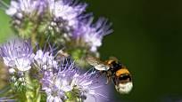 Svazenka vratičolistá poskytuje nektar čmelákům, včelám i motýlům