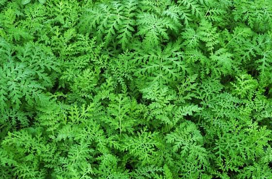 Svazenka vratičolistá patří mezi oblíbené zelené hnojení.