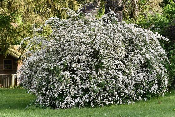 tavolník van Houtteův (Spiraea x vanhouttei)