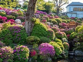Když tvarované japonské azalky rozkvetou, jsou omamně krásné