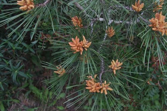 Samčí šištice borovice lesní