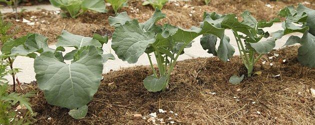 Brokolicím svědčí mulčování - brání odpařování vláhy a zúrodňuje půdu