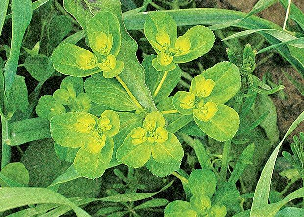 pryšec kolovratec (Euphorbia helioscopia)