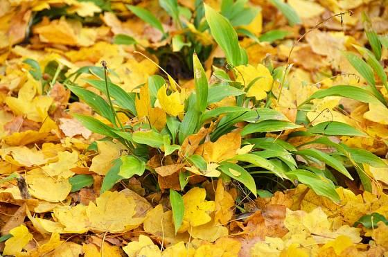 Bohyška v mulči ze spadaného listí