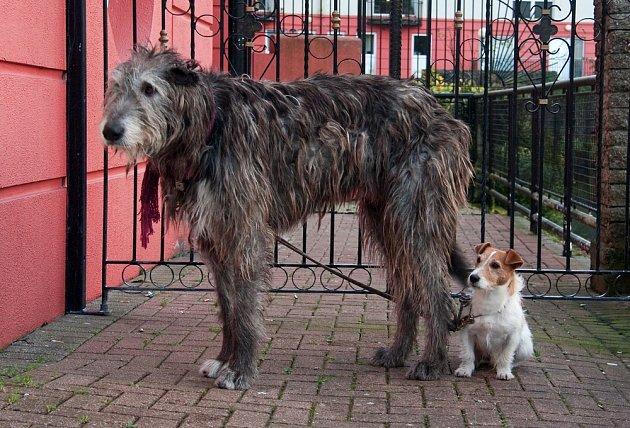 Irský vlkodav ve srovnání s Jack Russell teriérem.