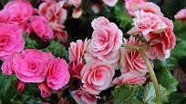 Květy begónií rozzáří stinná místa i podzimní zahradu