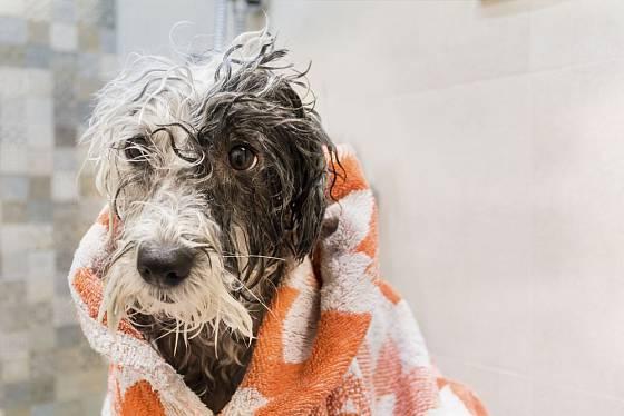 Někteří psi vodu milují, jiní nesnášejí. Koupeme je každopádně ve vlažné vodě, speciálním šamponem pro psy, pak jemně vysušíme a udržujeme v teple