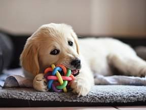 Štěňata si užijí také speciální psí hračky.