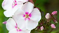 plamenky kvetou v celé škále od bílé po rudou