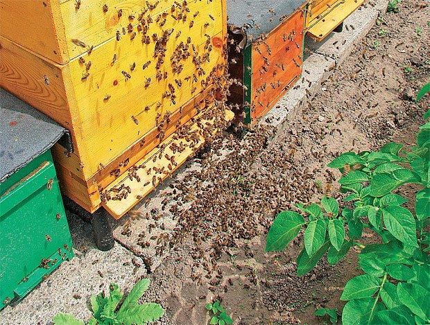 rojící se včelstvo