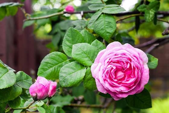 Vůně růže stolístky je sladká a přitom svěží