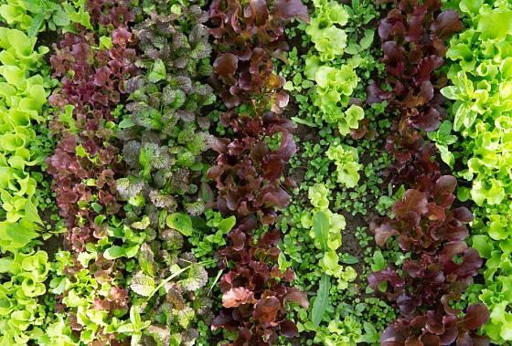 Mladé listové saláty a hořčice
