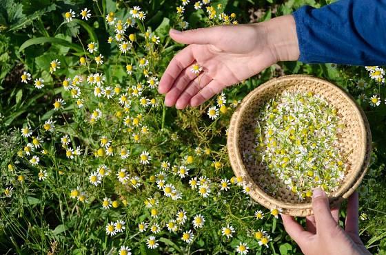 U heřmánku sbíráme samotné voňavé květní úbory