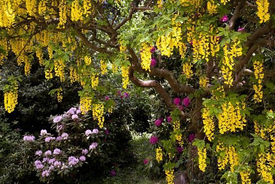 Štědřenec rozkvétá množstvím žlutých květů v květnu.
