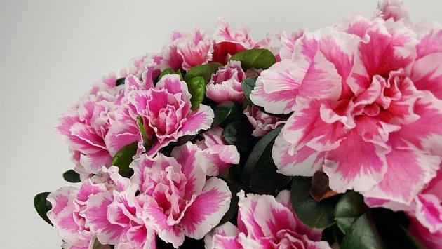 K oblíbeným květinám vánočního období patří azalky všech barev.