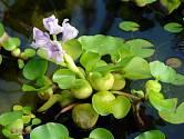 Vodní hyacint neboli tokozelka (Eichhornia crassipes).