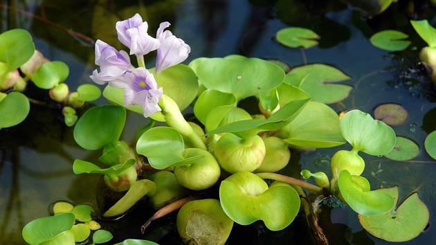 Vodní hyacint – Lidé ho zasazují do vodních prvků na zahradě