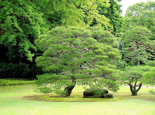 vzrostlý bonsaj na pozadí velkých stromů