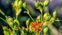 Po odkvětu začnou na angínovníku dozrávat semena.
