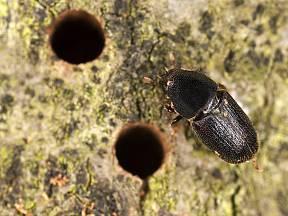 bělokaz dubový (Scolytus intricatus)
