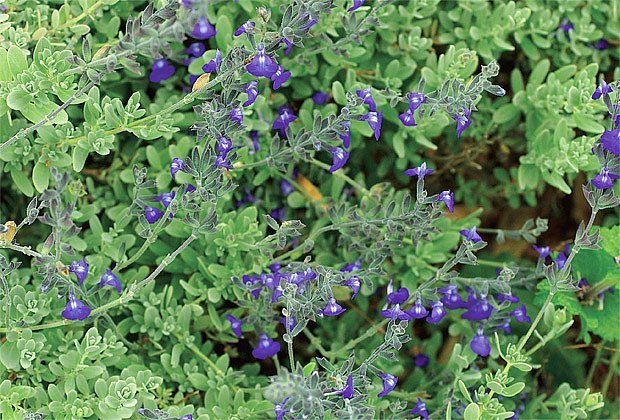 Salvia chamaedryoides Blue Ribbon