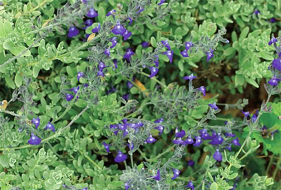 Salvia chamaedryoides Blue Ribbon