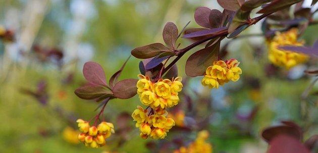 Žluté květy dřišťálu intenzivně voní