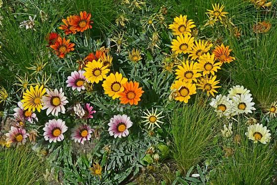 Gazánie zářivá (Gazania splendens) - směs barev.