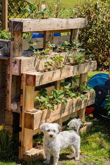 Vertikální pěstování jahod se hodí pro nevelké zahrady.