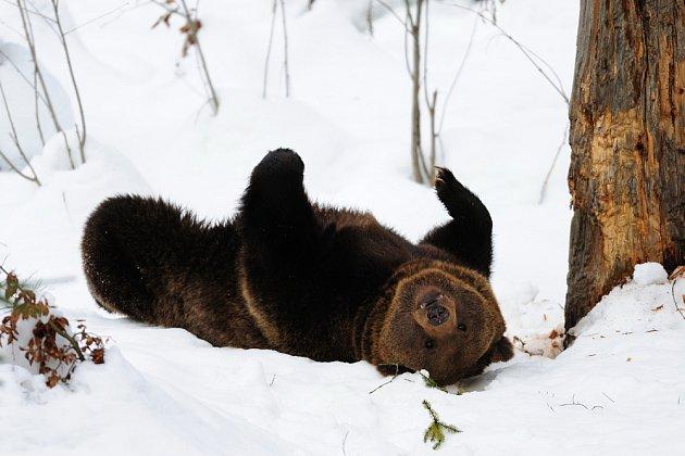 Medvědi si zimu ve svém výběhu v Bavorském lese náležitě užívají.