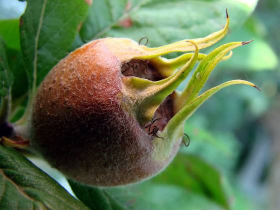 Zrající plod mišpule (Mespilus germanica)