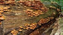 Opeňka měnlivá s oblibou obrůstá i ležící kmeny stromů.