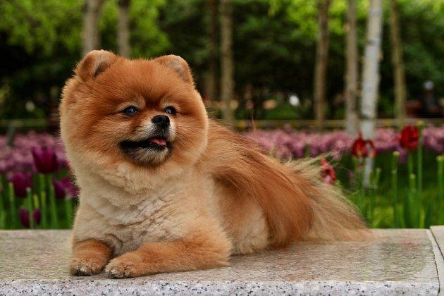 Na žebříčku nejroztomilejších plemen psů je velmi vysoko také pomeranian.