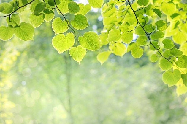 Pospěšte si a vyzkoušejte lipové listí ještě letos.