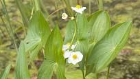 Šípatka střelolistá (Sagittaria sagittifolia)