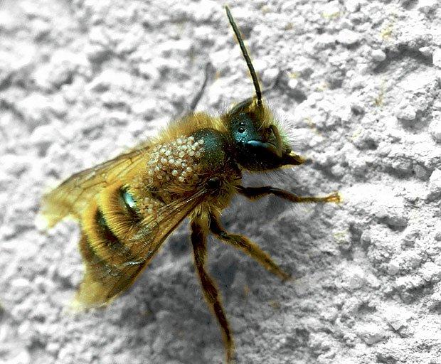 Včela napadená kleštíkem (Varroa), kterého zanese do buňky plástve