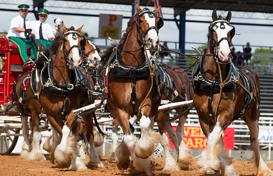 Velikonoční závody krásných pivovarských koní