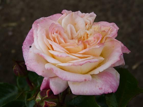 Růže odrůdy Concorde
